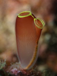 tunicate/sea squirt
