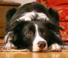 I am grateful for the exuberance of BORDER COLLIES!