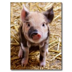 Cute Baby Piglet Farm Animals Barnyard Babies Post Cards SOLD on Zazzle