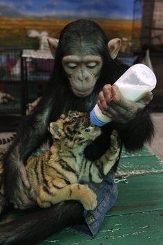 Ungewöhnliche Tierfreundschaften.........Tiger und Affe