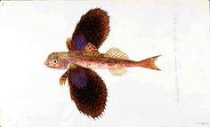 Animal - Fish - Flying fish, Fauna Grecae 3