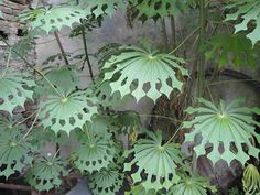 The leaves of the Hardy Tapioca(Manihot Grahamii) part of Euphorbiaceae the Poinsettia family. The leaves of the Hardy Tapioca(Manihot Grahamii) part of Euphorbiaceae the Poinsettia family. Unusual Plants, Exotic Plants, Cool Plants, Tropical Plants, Tropical Leaves, Weird Plants, Tropical Vibes, Shade Plants, Tropical Flowers