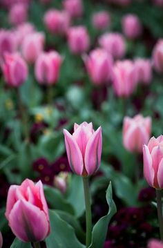Spring photography tulips landscape pink decor floral spring decor
