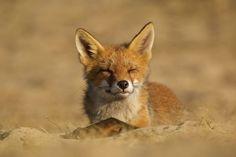 Young fox enjoying the evening sun - The Dune Foxes Of The Netherlands | Bored Panda