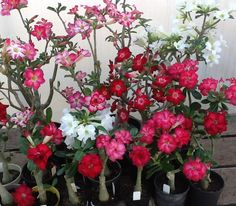 5 Fresh Seeds w/Instructions (ETA end of Aug/Sept 2017) Because we are all suckers for succulents... Adenium obesum, also known as Desert Rose
