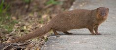 Mongooses were accidentally brought to the Caribbean for pest control and some of them escaped and established a breeding population outside their natural range.