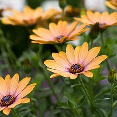 Osteospermum - Sideshow Copper Apricot Courtyard Design, Drought Tolerant Plants, Spring And Fall, Sideshow, Pansies, Cottage Style, Planting, Outdoor Spaces, Awakening