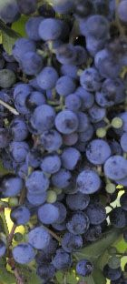 Woodlank Park Vineyards - Stillwater, Oklahoma