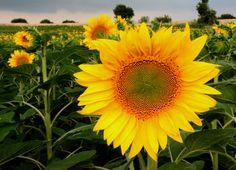 Photograph Sunflower by Necmi Gün on 500px