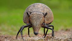 Photoshopped Animal Hybrids | Funny Hybrid Animal #3: Crabadillo