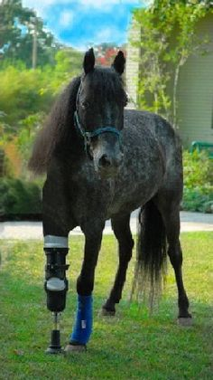Molly an inspirational horse from Hurricane Katrina.