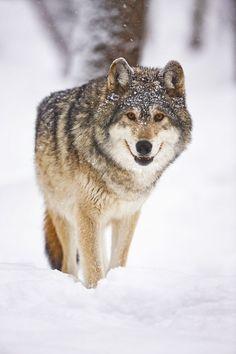 http://lenscanvas.com/wp-content/uploads/2012/07/ss-snowy-wolf-600x900.jpg
