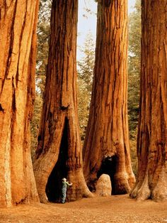 California's Sequoia National Park is home to some of the biggest trees on the planet. The largest measured sequoia is nearly 275 feet meters) tall and more than 100 feet meters) around. ROAD TRIP anyone! They are so gorgeous! Family Road Trips, Road Trip Usa, Family Travel, Sequoia National Park California, California Usa, Northern California, Visalia California, Sequoia California, California Funny