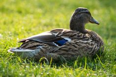 'Sitting duck' on skitterphoto