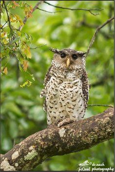 Spot Bellied Eagle Owl