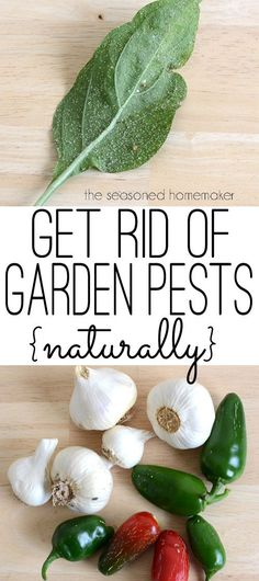Are you looking for a natural and organic pesticide to get rid of garden insects? Garlic Pepper Tea a safe and natural way to kill insects in your garden. This natural pesticide recipe works quickly and is safe for pets and people. via @seasonedhome