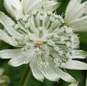 Astrantia major 'Large White'