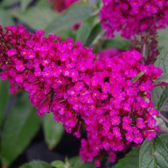 Buddleia Buzz Hot Raspberry (Dwarf Butterfly bush, summer lilac). Vivid hot raspberry pink spires rise from compact silvery bushes. Deliciously fragrant! This color is a special favorite of butterflies and hummingbirds.