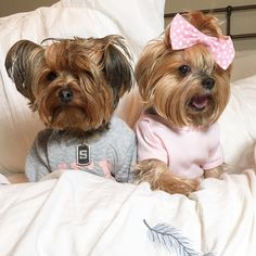 See this Instagram photo by @michcant • 1,543 likes #yorkshireterrier