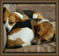 Beagle ball