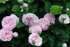 'Duchesse de Montebello ' Rose Photo