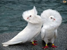 Meet the Fancy Pigeons That Rock Parkas: Jacobin Pigeons The Jacobin Pigeon is one of your typical 'high society pigeons' – always rockin' a fancy feathered parka to look stylish! Pretty Birds, Beautiful Birds, Animals Beautiful, Dove Pigeon, Pigeon Bird, White Pigeon, Black Animals, Animals And Pets, Cute Animals