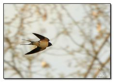 Barn Swallow in flight, by Anghel Eliz