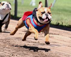 Running of the Bulldogs – Canterbury Park Canterbury Park, Dog Runs, Greatest Hits, Memorial Day, French Bulldog, Live Racing, Running, Bulldogs, Animals