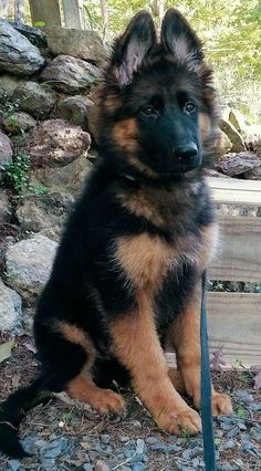 Wicked Training Your German Shepherd Dog Ideas. Mind Blowing Training Your German Shepherd Dog Ideas. Cute Dogs And Puppies, Baby Dogs, I Love Dogs, Cutest Dogs, Funny Puppies, Doggies, Cutest Puppy Breeds, Puppies Puppies, Adorable Puppies