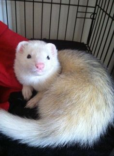 Cute DEW ferret with a big pink nose