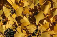 ginkgo trees - Google Search