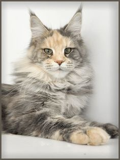 Definitely a Maine Coone Cat - look at the size of the paws, nose & pointy ears:)))   ........... http://www.mainecoonguide.com/
