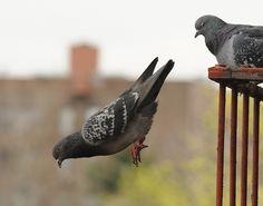 fuk flying says pigeon