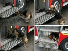 A heroic mother dog saved her 10-day-old puppies from a house fire in Santa Rosa de Temuco, Chile. Sensing the danger to her babies, she picked the pups up in her mouth and moved them from the burning house to the safety of the nearby fire truck. She then gently placed the pups on the steps of the fire-truck as firefighters fought the blaze Read more at http://www.dogheirs.com/misst/posts/6940-9-photos-that-perfectly-capture-canine-motherly-love#xq2cbEEqs0W1UPH2.99