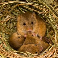 """Jean-Louis said: """"All of the harvest mice came originally from captivity and were eventually released them into a field where we continued to photograph them, always carefully choosing a suitable habitat where we knew they could survive"""