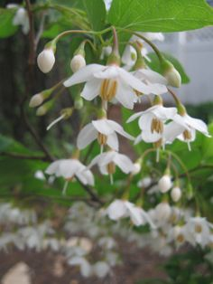Japanese Snowbell tree (Styrax japonica) - only 5 ft tall now but full of scented bloom