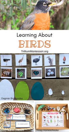 Montessori Resources for Learning About Birds - Trillium Montessori science Montessori Resources for Learning About Birds Montessori Blog, Montessori Science, Montessori Practical Life, Montessori Education, Montessori Classroom, Montessori Toddler, Preschool Science, Montessori Materials, Science For Kids