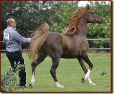 AF Umoyo (NL) 2005 Dark Chestnut Straight Russian stallion. Nadir I {Neman x Neschi by Kilimandscharo} x Mirkana {Mirok Monpelou x Matrioshka by Antey} Owned and bred by Arabian Fantasie, the Netherlands.