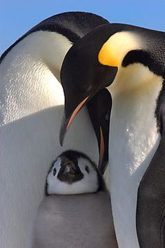 Penguin Family ~ Photographic Print by Steve Bulford