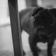 #パグ  #黒パグ  #pug  #犬 #わんこ  #dog  #dogstagram  #愛犬 #鼻の下の白いのはクリームじゃなくて白髪だよ (笑)