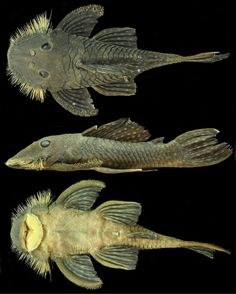 New Catfish Species Discovered