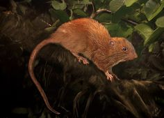 """A new species of rat, measuring 18"""" long, has been discovered in the South Pacific, the first time in 80 yrs a new rat species has been found there."""