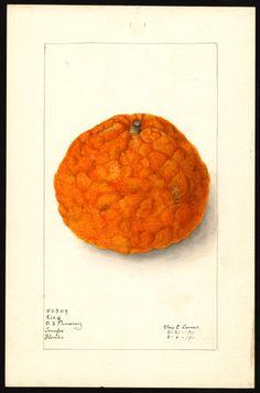 Artist:     Lower, Elsie E., b. 1882  Scientific name:     Citrus nobilis  Common name:     tangors  Variety:     King  Geographic origin:     Tampa, Hillsborough County, Florida, United States  Physical description:     1 art original : col. ; 17 x 25 cm.  Specimen:     50309  Year:     1911  Date created:     1911-03-04