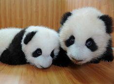 I want you baby panda!!!