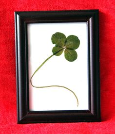 Real Four-leaf clover Wood frame and glass Good luck by Yeneser