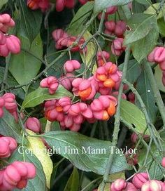Euonymus europaeus 'Red Lantern' Red Lantern Spindle Tree from E.C. Brown's Nursery