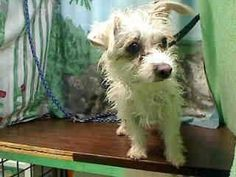 #A437857 (Moreno. Valley, CA)  Female, white Poodle - Miniature mix.  The shelter thinks I am about 2 years.  I have been at the shelter since Jul 17, 2014 and I may be available for adoption on Jul 25, 2014 at 11:25AM ...      City of Moreno Valley Animal Control Services. https://www.facebook.com/135559229932205/photos/a.136024659885662.29277.135559229932205/335842646570528/?type=3&theater