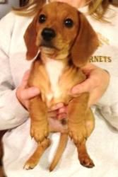 Little Dude is an adoptable Dachshund Dog in Newburgh, IN. 1/3/13 - Meet LD (Little Dude), an 8 week old neutered male Lemon Beagle/Dachshund mix surrendered to us with his brother and sister. He curr...