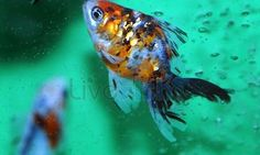 A BEAUTIFUL calico fantail goldfish...