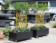 Beautiful Harlequin hedges from Baugaarden Living Art in mobile planters. Perfect as dividers on terraces etc.